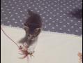 子猫の『こてつ』とねこじゃらしときなこ 1 - Kittens to play with toys -
